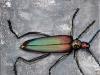 Le coléoplère
