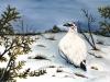 Lagopède des neiges