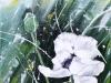 Pavot blanc